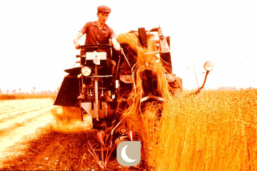La recolte du lin de France se fait par arrachage